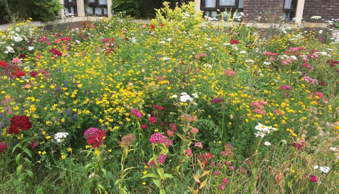 Wildflowers at Fitzwilliam College